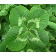 Lucky Plant / White Clover [Trifolium Repens] seeds (1 pack +/- 100 seeds)